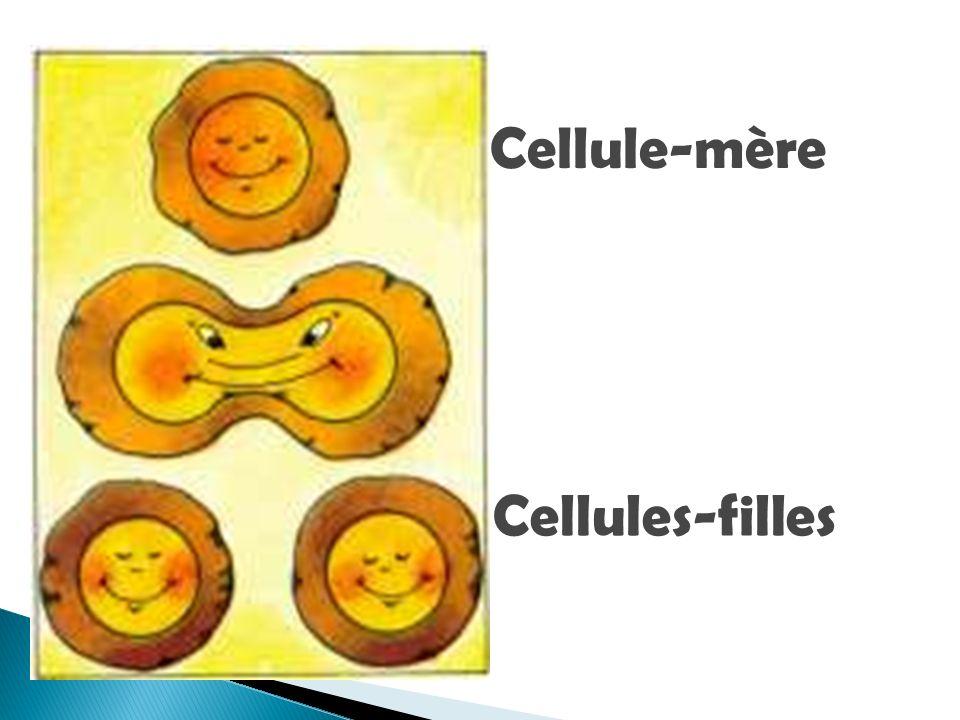 Cellule-mère Cellules-filles