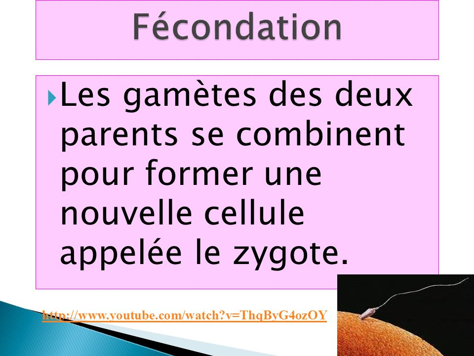 Fécondation Les gamètes des deux parents se combinent pour former une nouvelle cellule appelée le zygote.