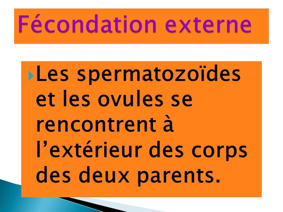 Fécondation externe Les spermatozoïdes et les ovules se rencontrent à l'extérieur des corps des deux parents.