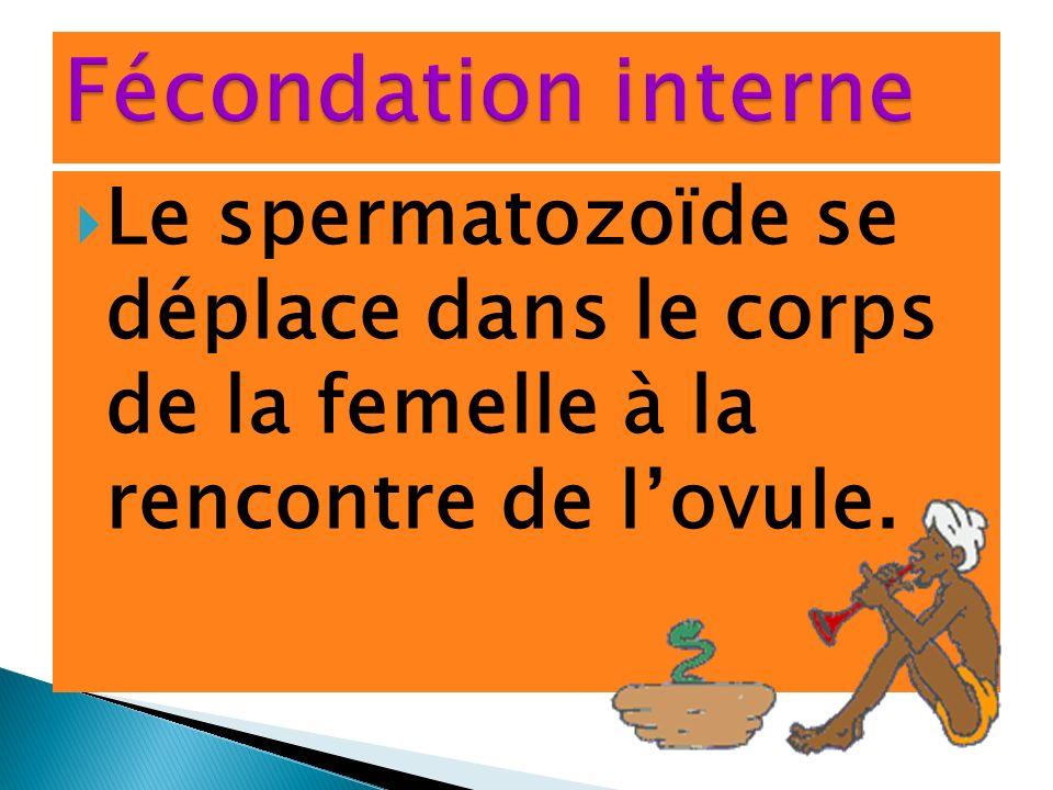 Fécondation interne Le spermatozoïde se déplace dans le corps de la femelle à la rencontre de l'ovule.