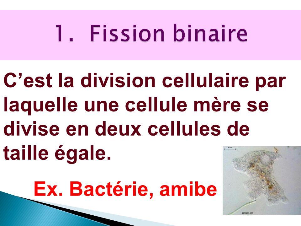 1. Fission binaire C'est la division cellulaire par laquelle une cellule mère se divise en deux cellules de taille égale.