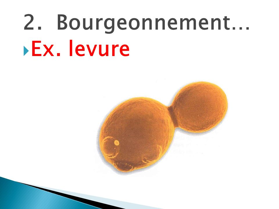 2. Bourgeonnement… Ex. levure