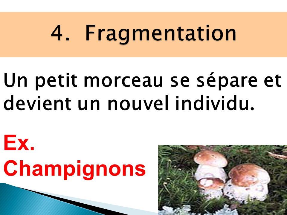4. Fragmentation Ex. Champignons