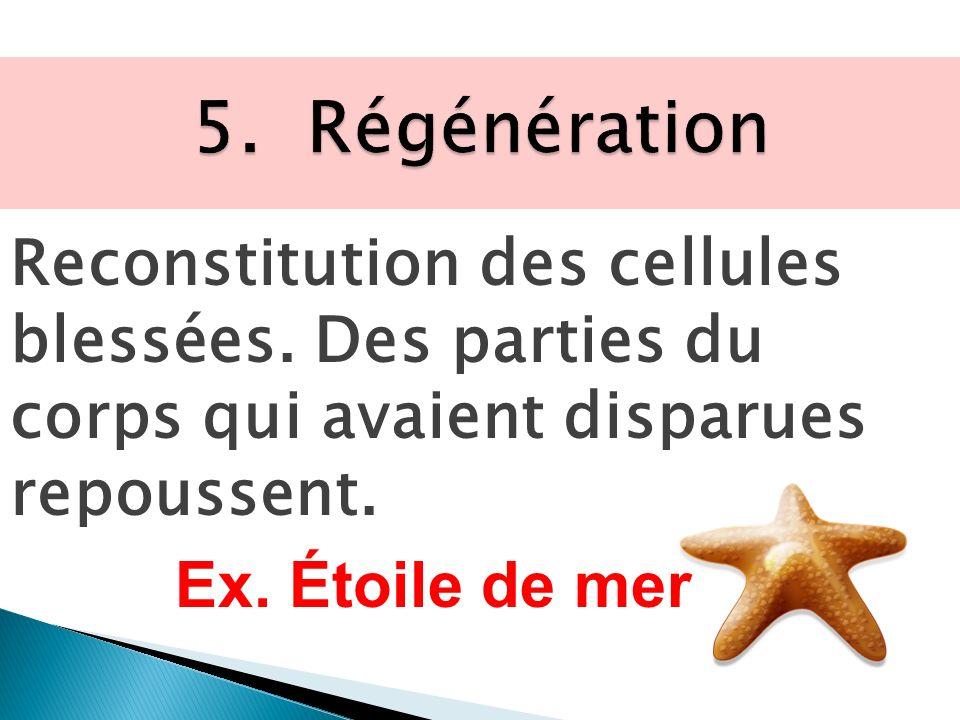 5. Régénération Reconstitution des cellules blessées. Des parties du corps qui avaient disparues repoussent.