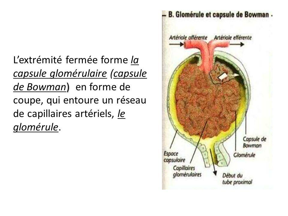 L'extrémité fermée forme la capsule glomérulaire (capsule de Bowman) en forme de coupe, qui entoure un réseau de capillaires artériels, le glomérule.