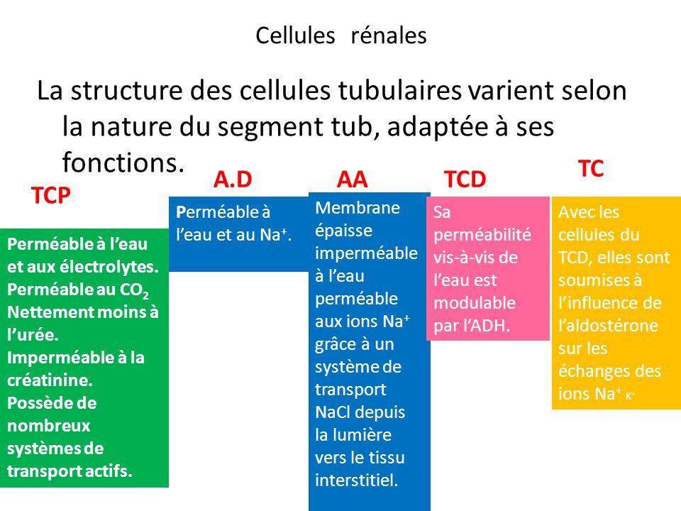 Cellules rénalesLa structure des cellules tubulaires varient selon la nature du segment tub, adaptée à ses fonctions.