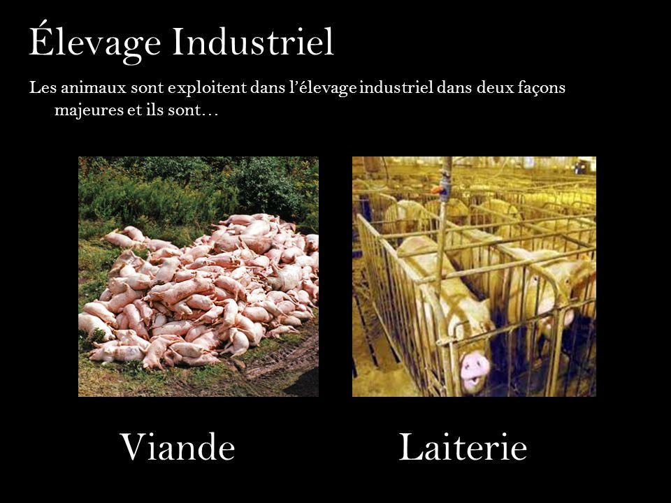 Élevage Industriel Viande Laiterie
