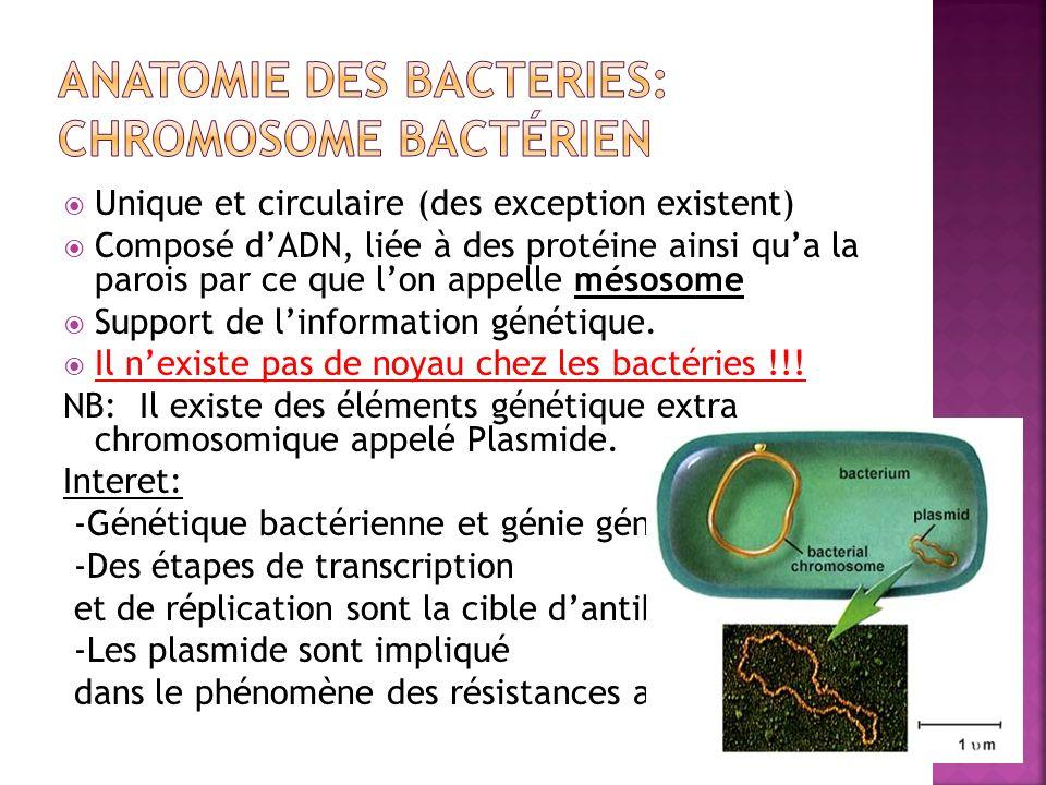 ANATOMIE DES BACTERIES: Chromosome bactérien