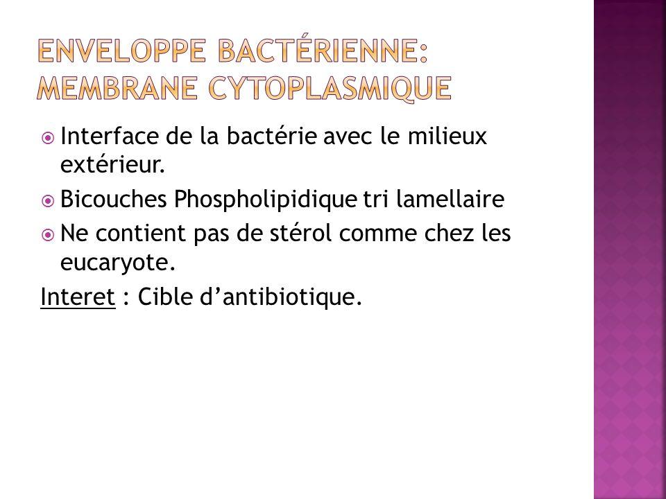 Enveloppe bactérienne: Membrane cytoplasmique