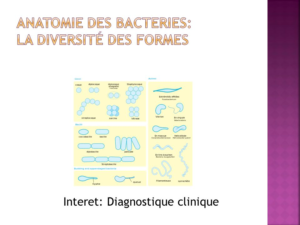 ANATOMIE DES BACTERIES: La diversité des formes
