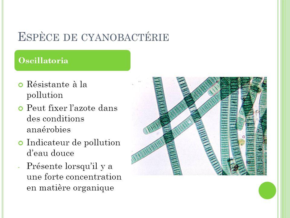 Espèce de cyanobactérie