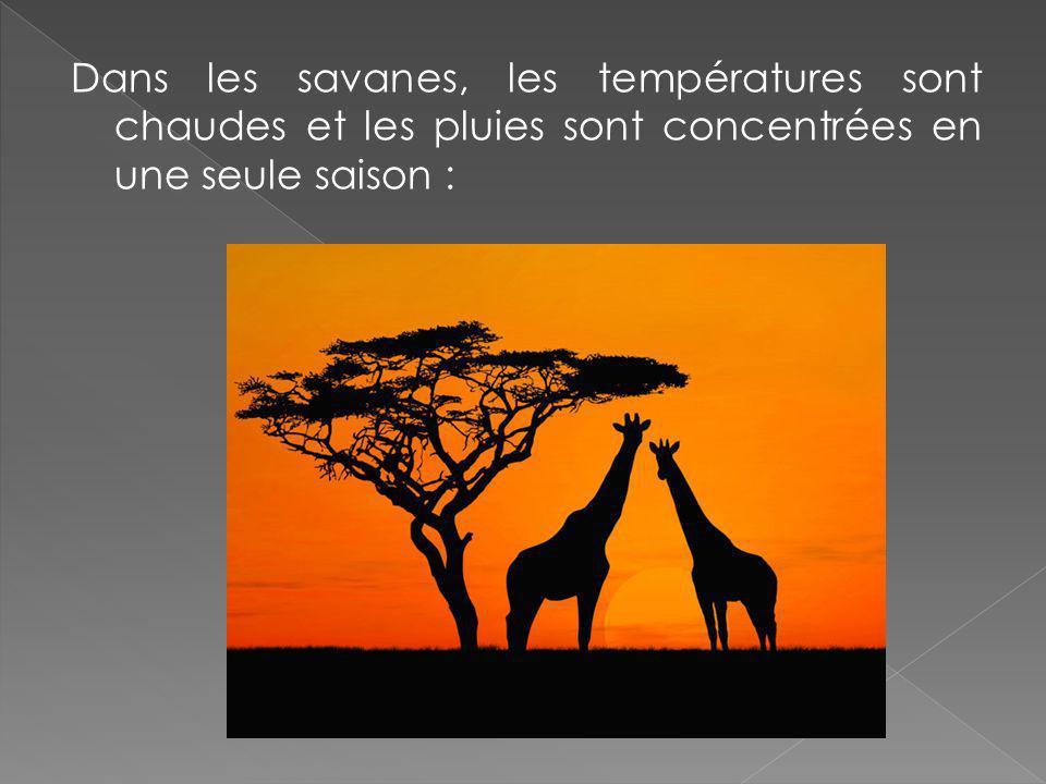 Dans les savanes, les températures sont chaudes et les pluies sont concentrées en une seule saison :