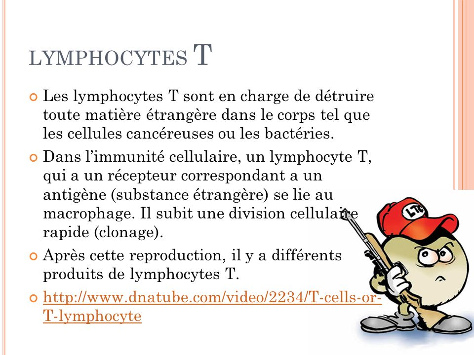LYMPHOCYTES T Les lymphocytes T sont en charge de détruire toute matière étrangère dans le corps tel que les cellules cancéreuses ou les bactéries.
