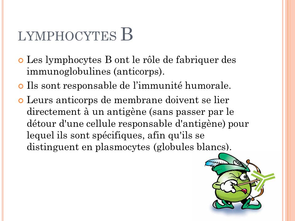 LYMPHOCYTES B Les lymphocytes B ont le rôle de fabriquer des immunoglobulines (anticorps). Ils sont responsable de l'immunité humorale.