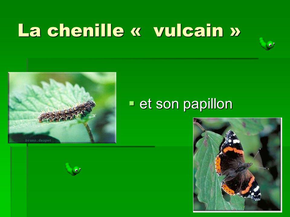 La chenille « vulcain » et son papillon