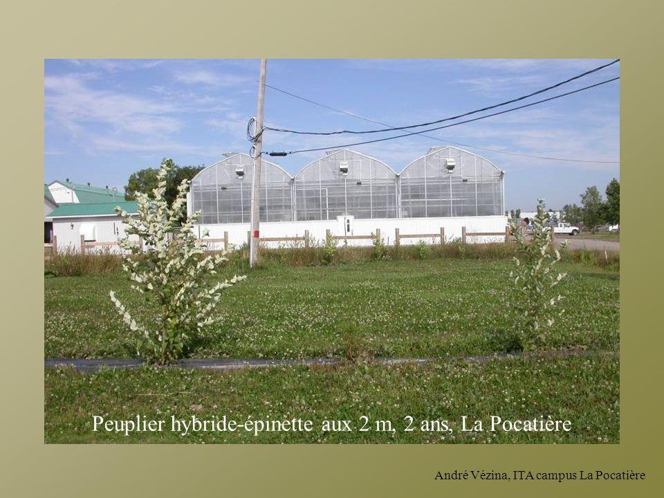 Peuplier hybride-épinette aux 2 m, 2 ans, La Pocatière