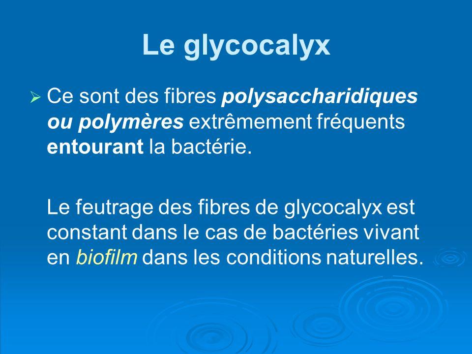 Le glycocalyx Ce sont des fibres polysaccharidiques ou polymères extrêmement fréquents entourant la bactérie.