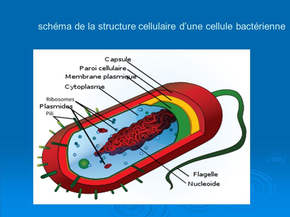 schéma de la structure cellulaire d'une cellule bactérienne
