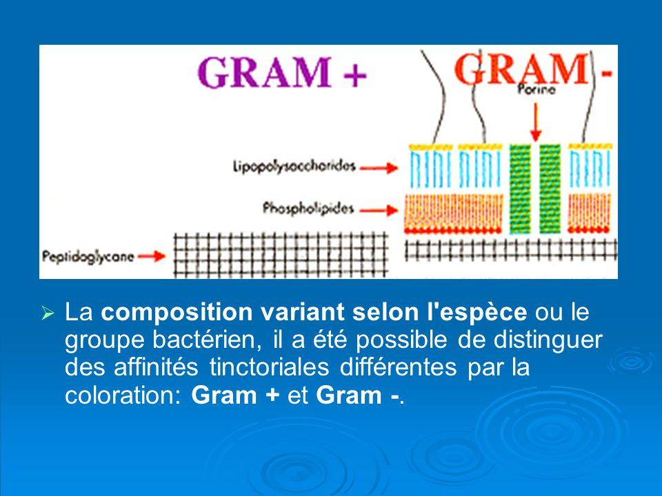 La composition variant selon l espèce ou le groupe bactérien, il a été possible de distinguer des affinités tinctoriales différentes par la coloration: Gram + et Gram -.