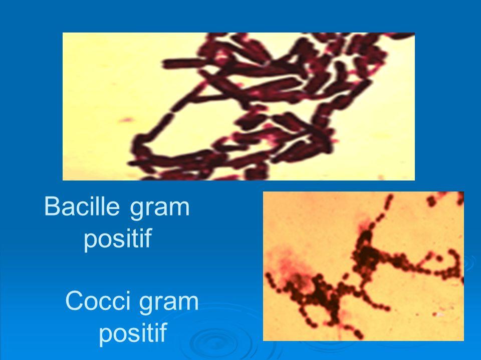Bacille gram positif Cocci gram positif