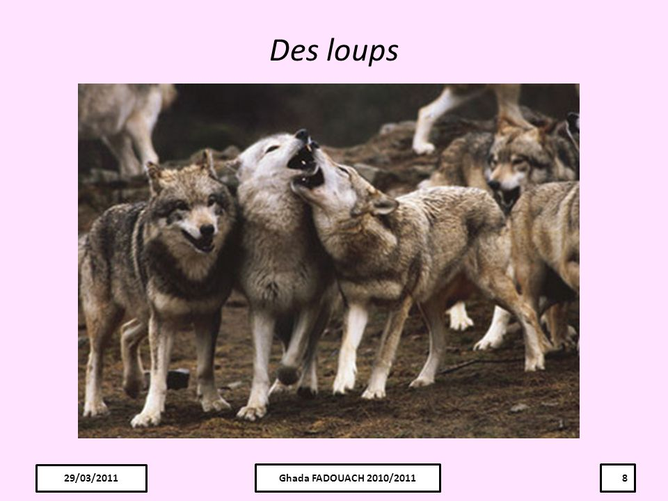 Des loups 29/03/2011 29/03/2011 Ghada FADOUACH 2010/2011 8