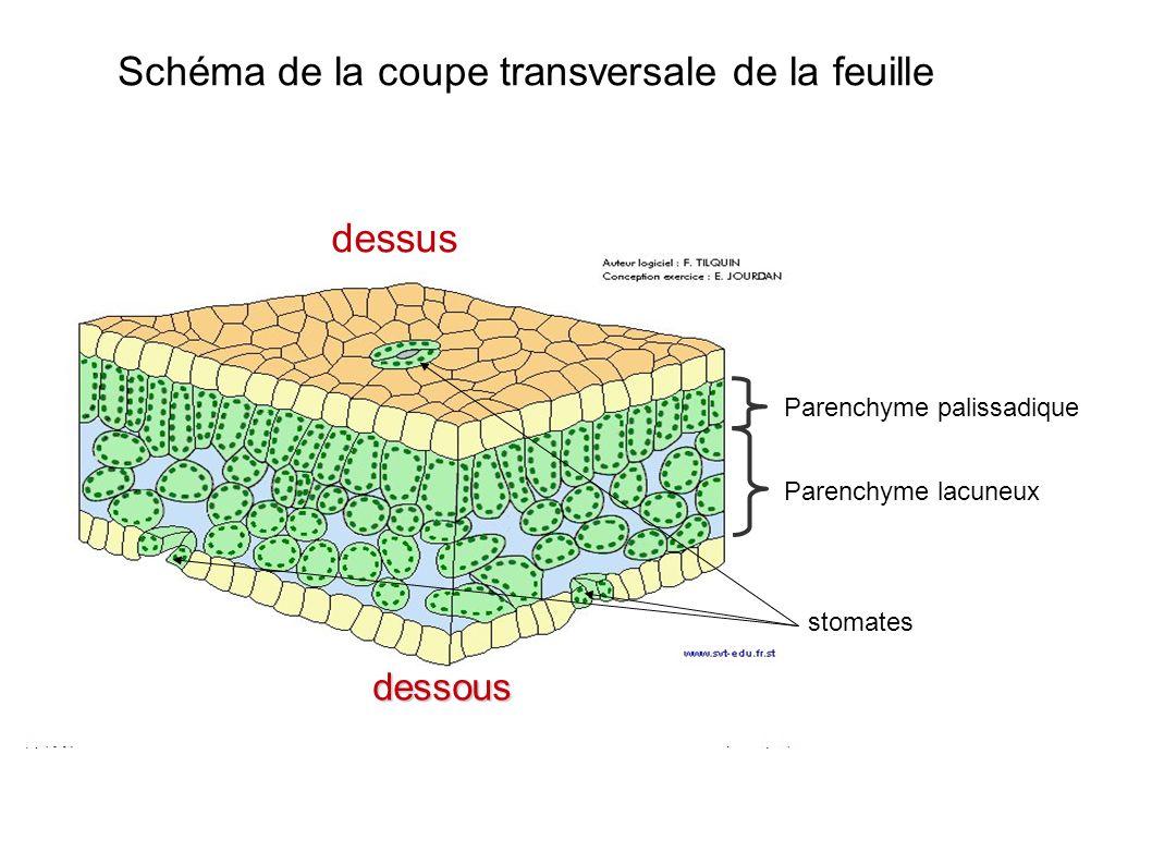 Schéma de la coupe transversale de la feuille