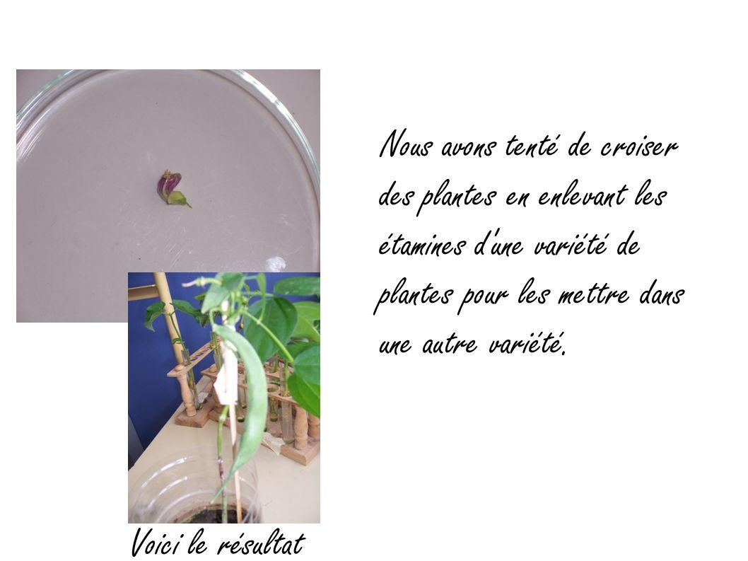 Nous avons tenté de croiser des plantes en enlevant les étamines d une variété de plantes pour les mettre dans une autre variété.