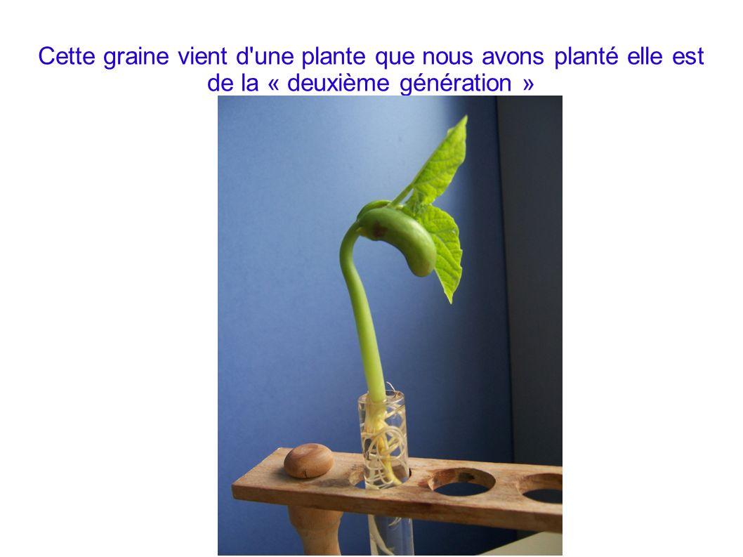 Cette graine vient d une plante que nous avons planté elle est de la « deuxième génération »