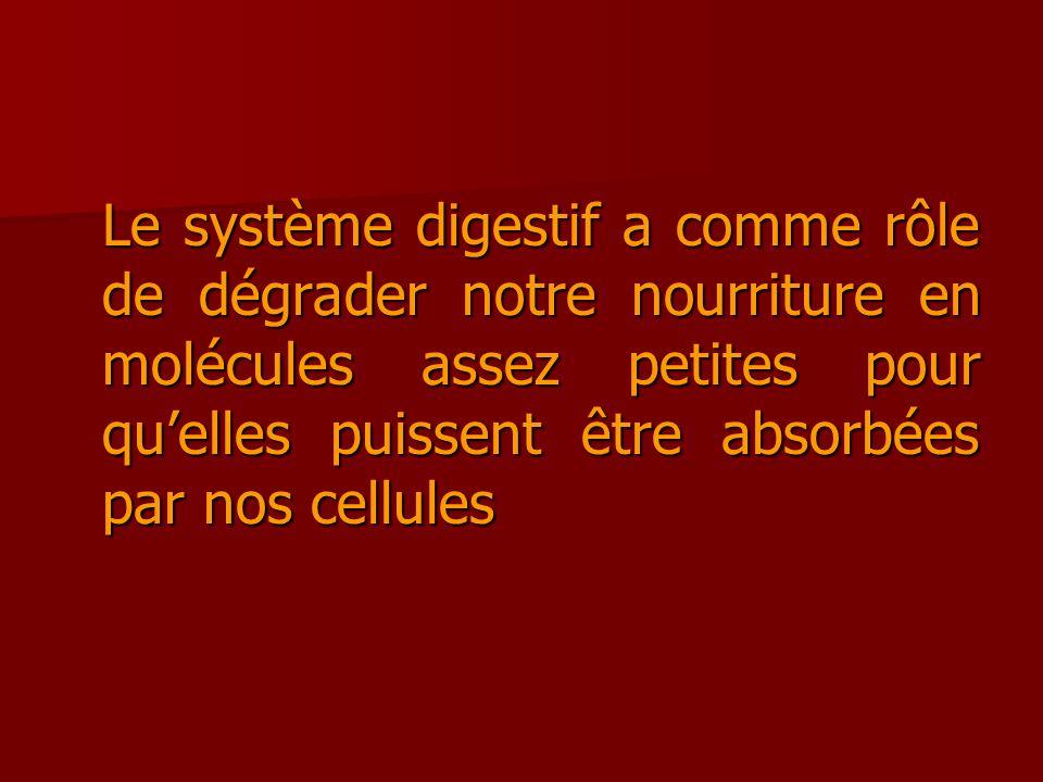 Le système digestif a comme rôle de dégrader notre nourriture en molécules assez petites pour qu'elles puissent être absorbées par nos cellules