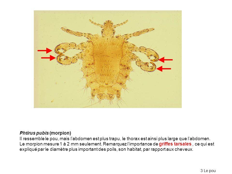 Phtirus pubis (morpion)