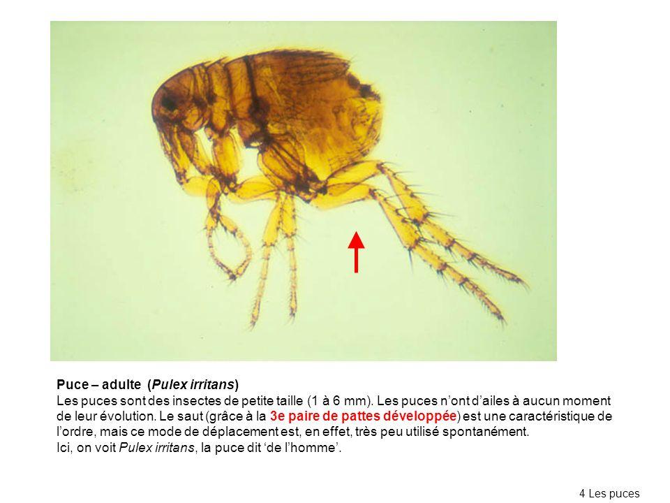 Puce – adulte (Pulex irritans)