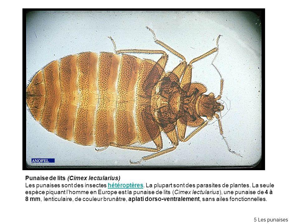 Punaise de lits (Cimex lectularius)