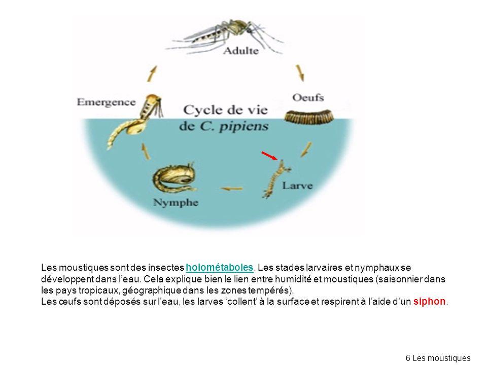 Les moustiques sont des insectes holométaboles