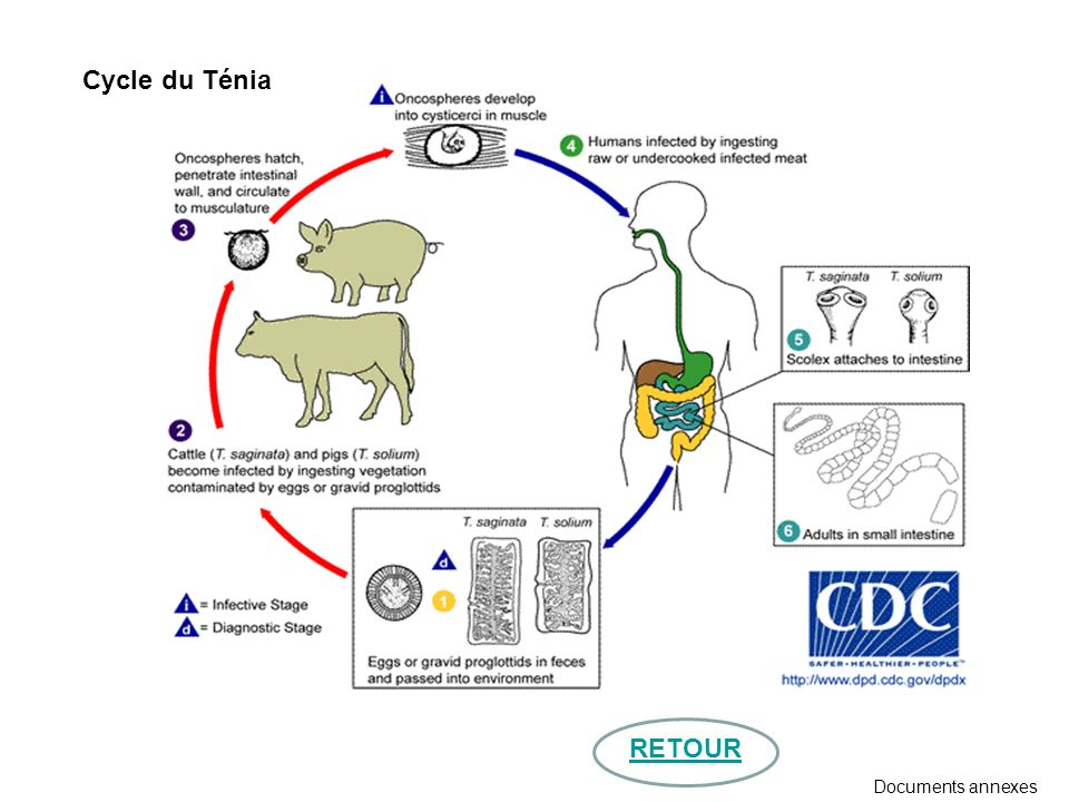 Cycle du Ténia RETOUR Documents annexes