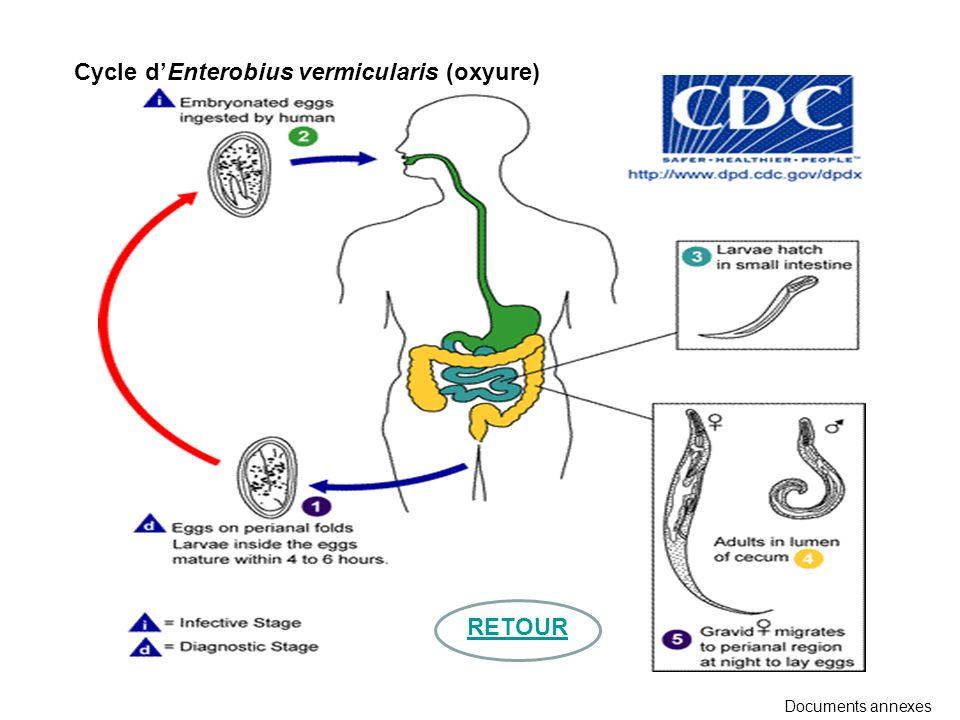 Cycle d'Enterobius vermicularis (oxyure)