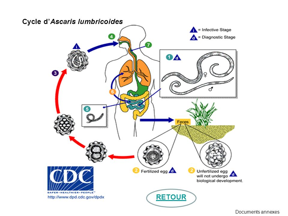 Cycle d'Ascaris lumbricoides