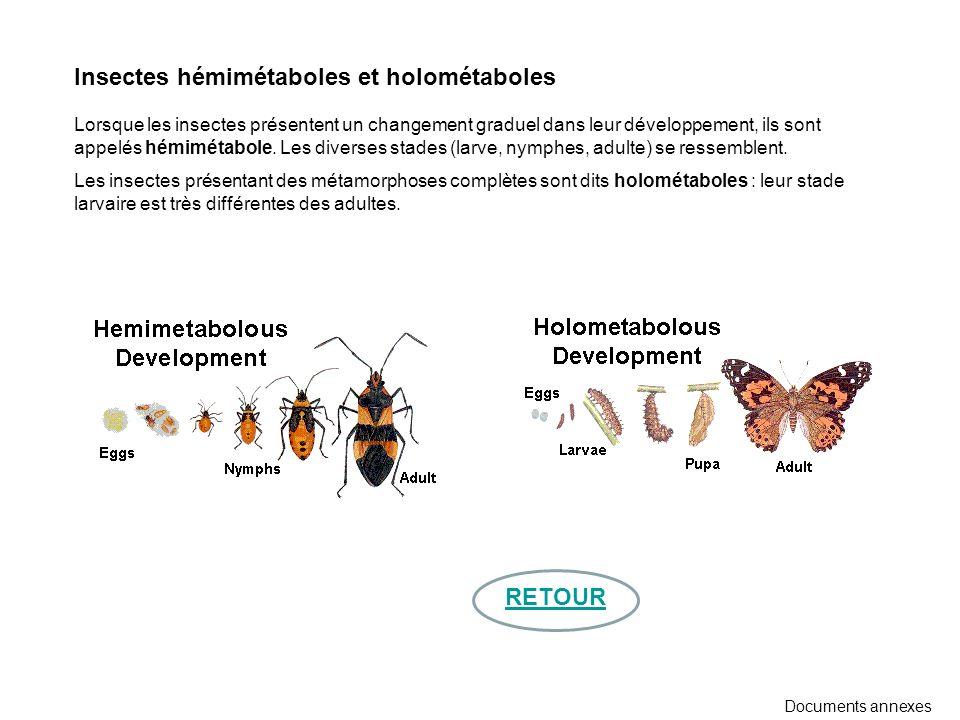 Insectes hémimétaboles et holométaboles