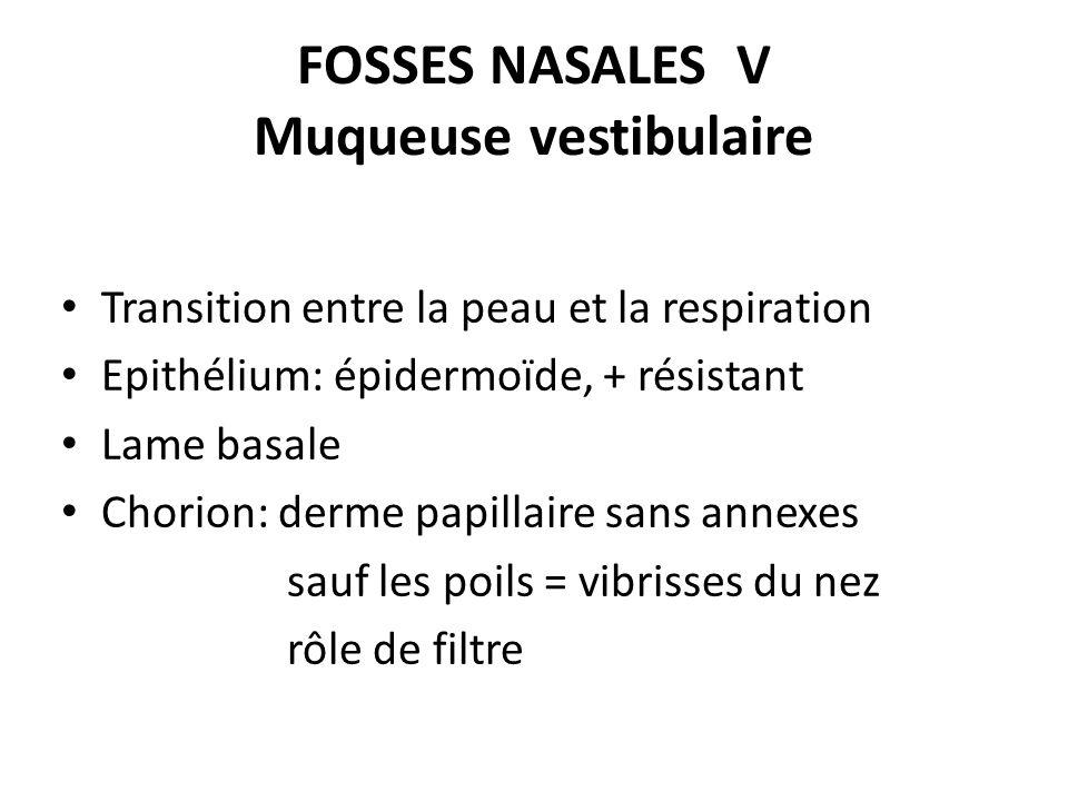 FOSSES NASALES V Muqueuse vestibulaire