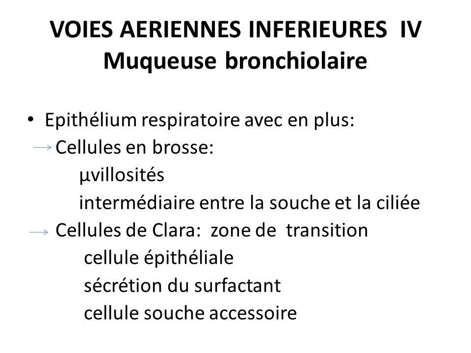 VOIES AERIENNES INFERIEURES IV Muqueuse bronchiolaire