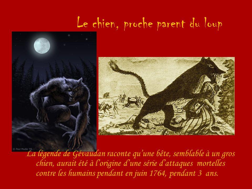 Le chien, proche parent du loup