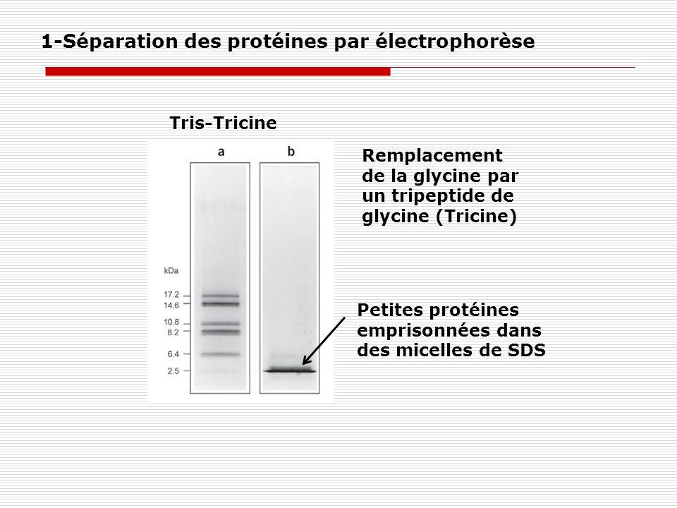 1-Séparation des protéines par électrophorèse