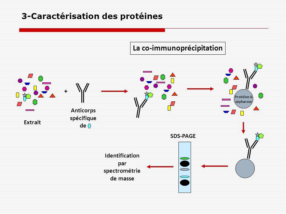 Anticorps spécifique de Identification par spectrométrie de masse