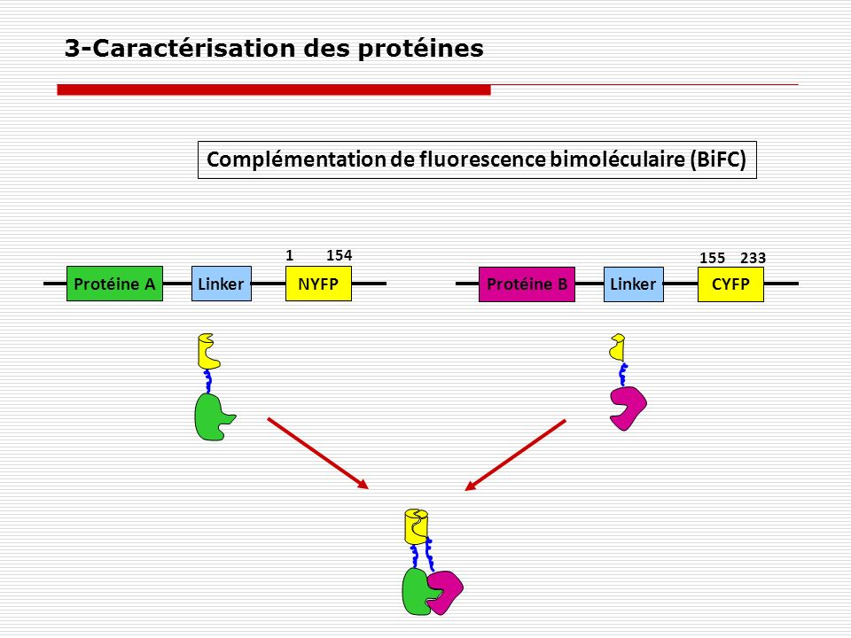 3-Caractérisation des protéines