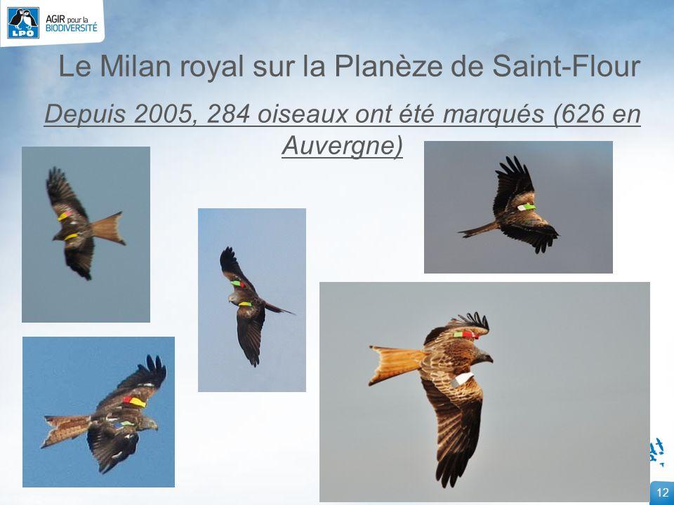 Le Milan royal sur la Planèze de Saint-Flour