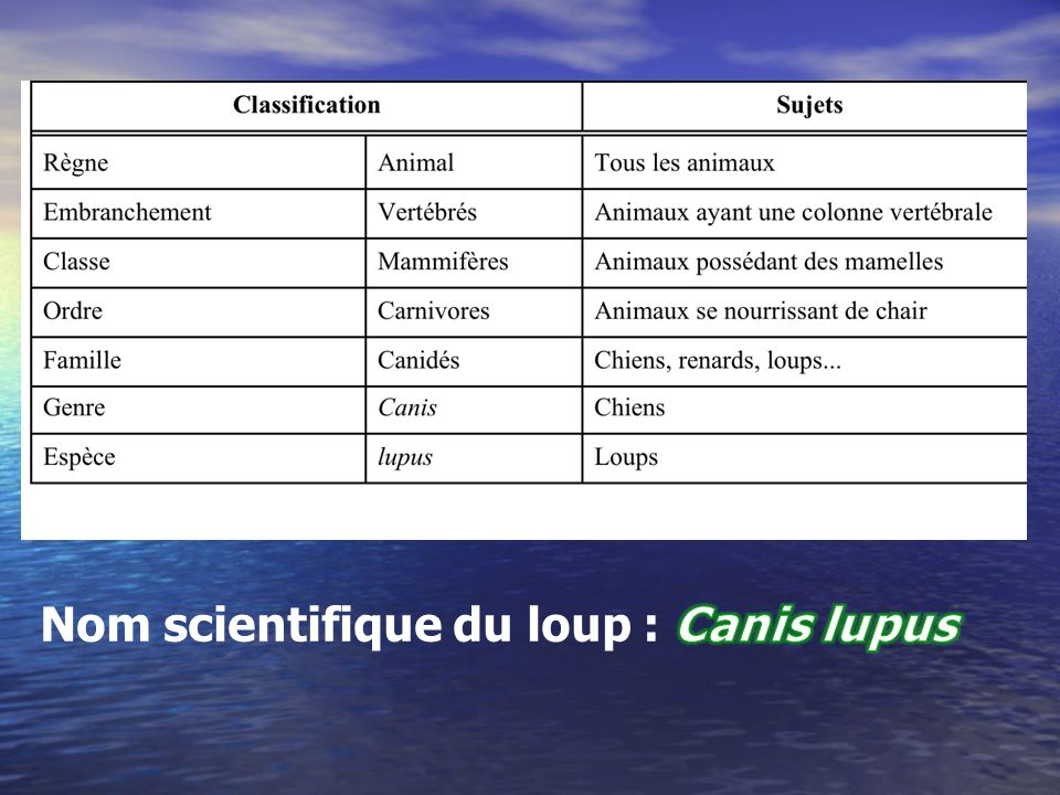 Nom scientifique du loup : Canis lupus
