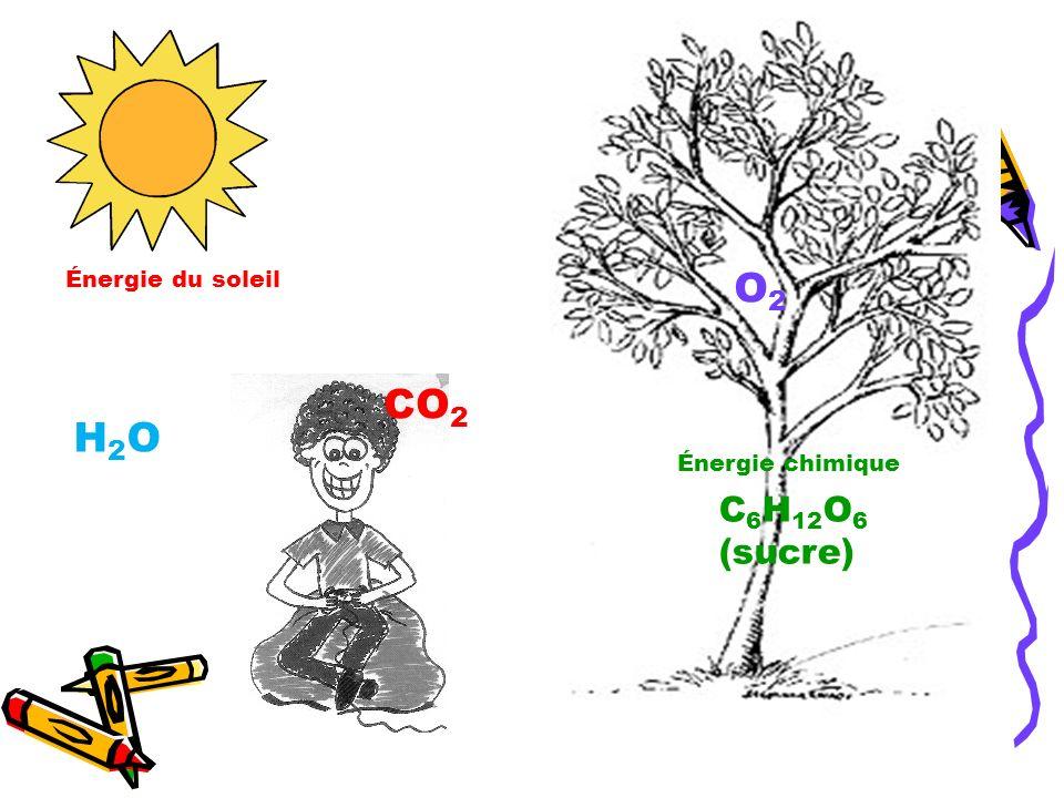 Énergie du soleil O2 CO2 H2O Énergie chimique C6H12O6 (sucre)