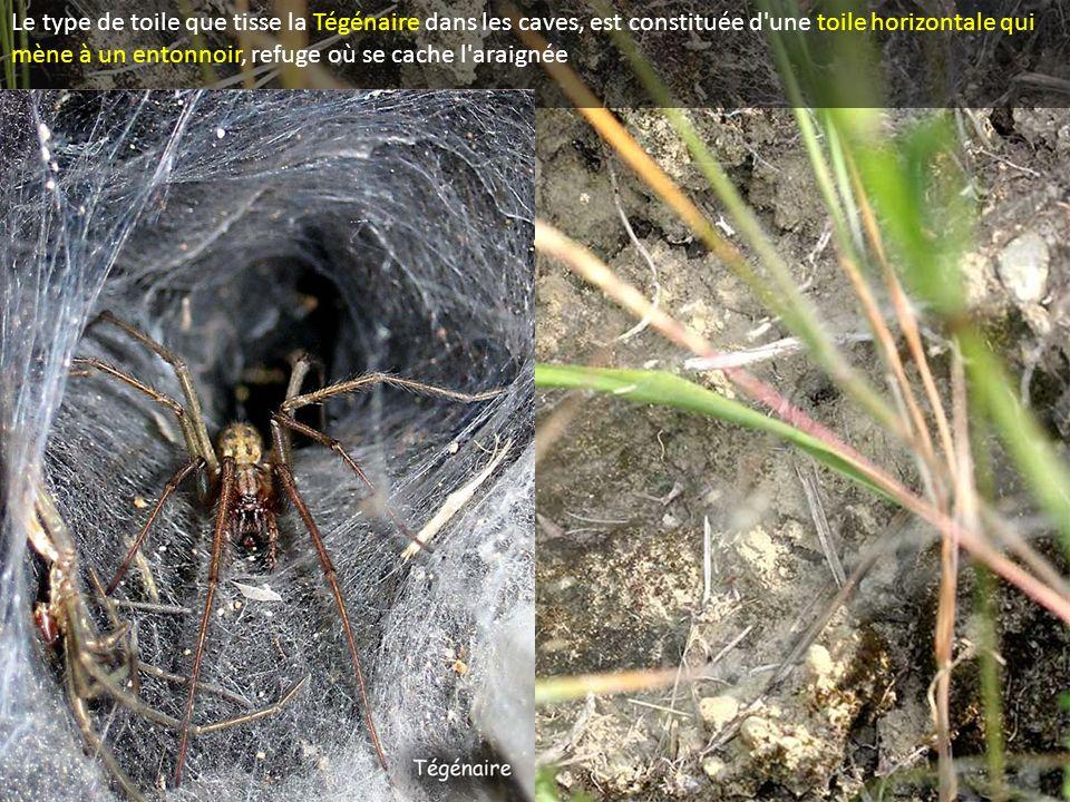 Le type de toile que tisse la Tégénaire dans les caves, est constituée d une toile horizontale qui mène à un entonnoir, refuge où se cache l araignée
