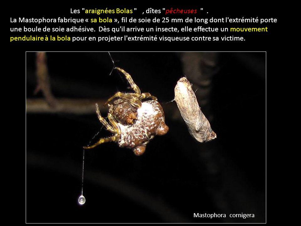 Les araignées Bolas , dîtes pêcheuses