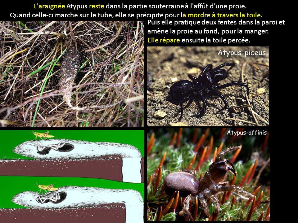 L araignée Atypus reste dans la partie souterraine à l affût d une proie.