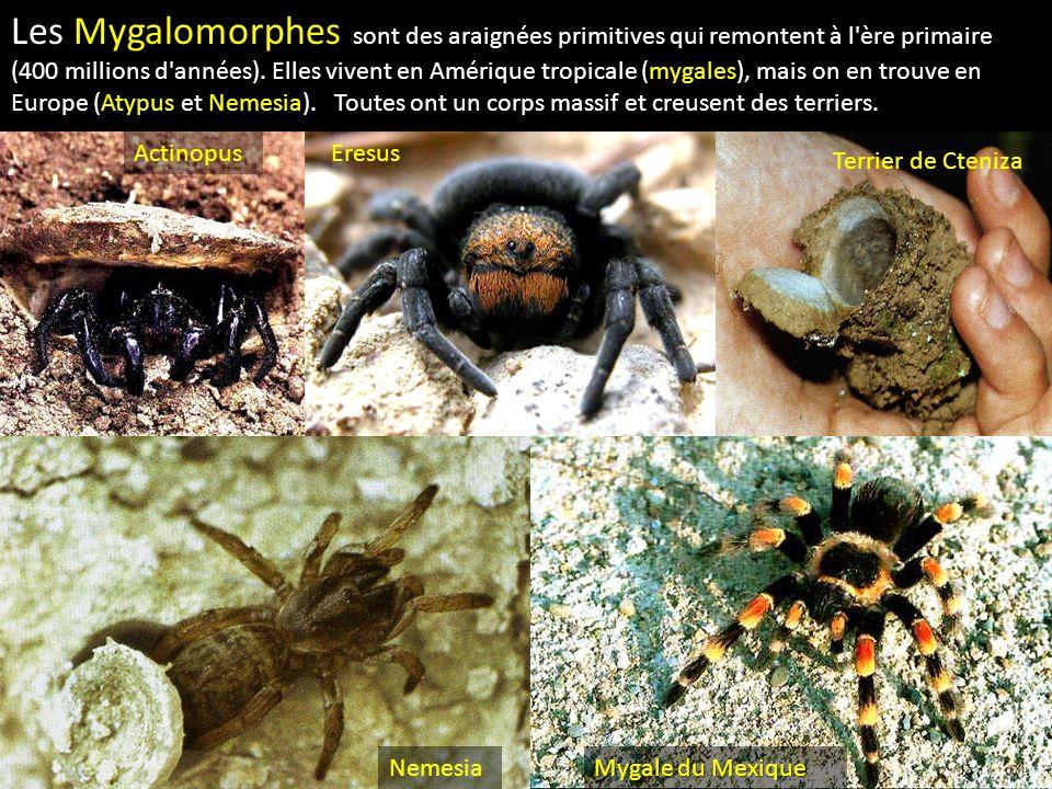Les Mygalomorphes sont des araignées primitives qui remontent à l ère primaire (400 millions d années). Elles vivent en Amérique tropicale (mygales), mais on en trouve en Europe (Atypus et Nemesia). Toutes ont un corps massif et creusent des terriers.